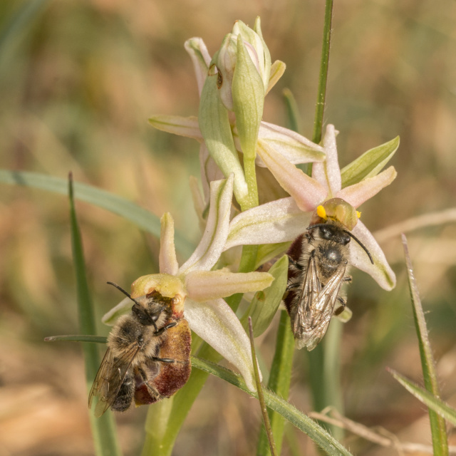 1 ére observation de pollinisateurs  _dsc8311