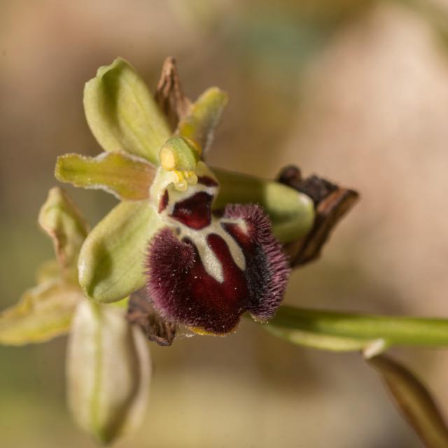 Ophrys incubacea ? _dsc8810