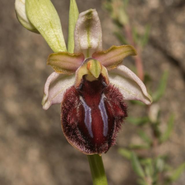 Ophrys incubacea ? _dsc8811