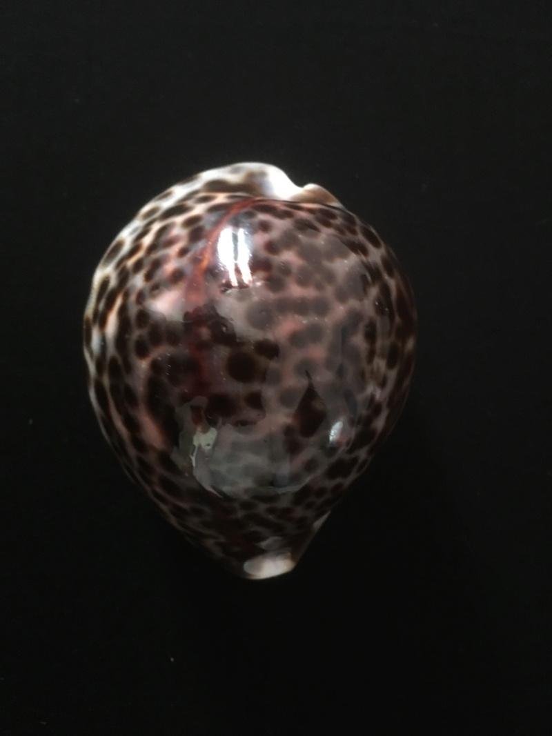 Demande d'identification Cypraea Tigris Img_4614