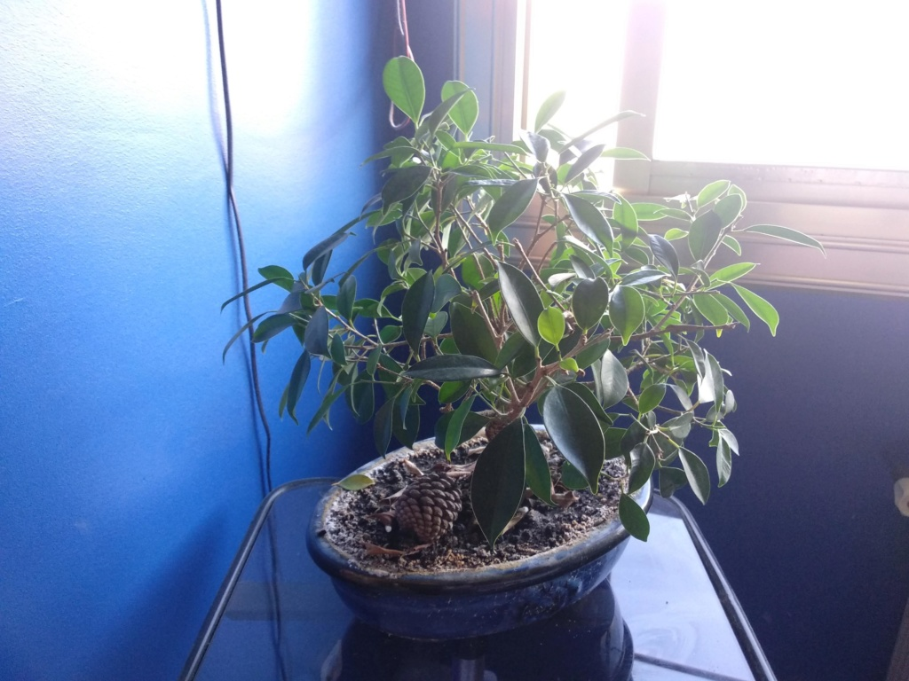 Problemas hojas Bonsai Img_2011