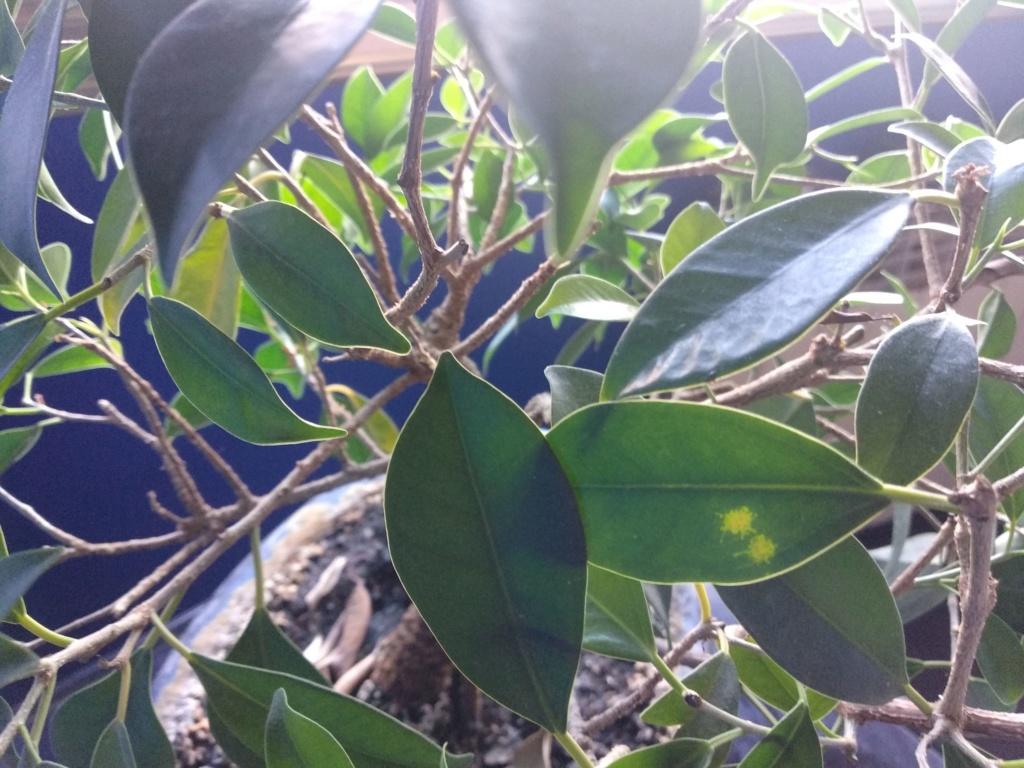 Problemas hojas Bonsai Img_2012