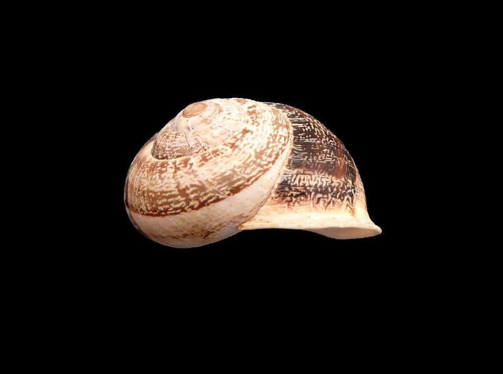 Hélicidae île de Ré Gastzo14