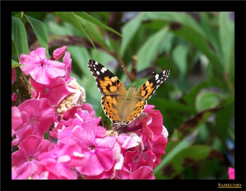 Les papillons sauvages du zoo d'Amiens Papil_11