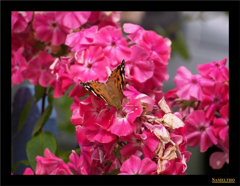 Les papillons sauvages du zoo d'Amiens Papil_12