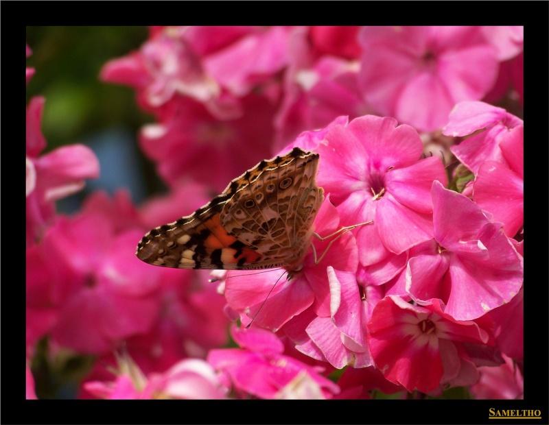 Les papillons sauvages du zoo d'Amiens Papil_13