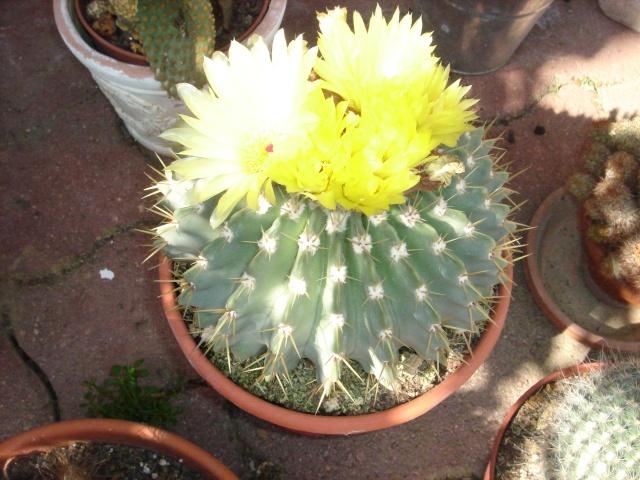 Retour au grand air pour mes cactus Dsc07118
