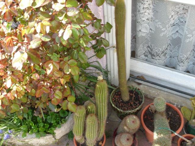 Retour au grand air pour mes cactus Dsc07119