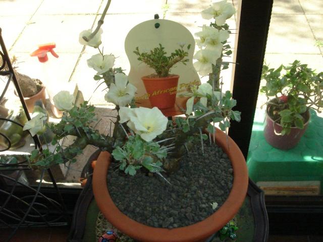 Pour ceux qui aiment les plantes d'Afrique du Sud Dsc07211