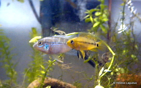 Apistogramma eunotus Couple12