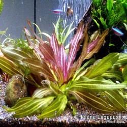 Echinodorus osiris Echin_10