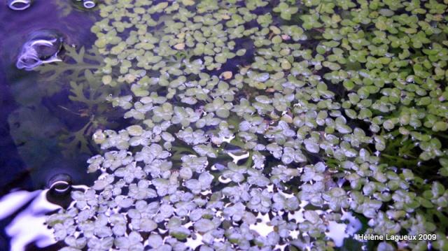 Les lentilles d'eau Img_3511