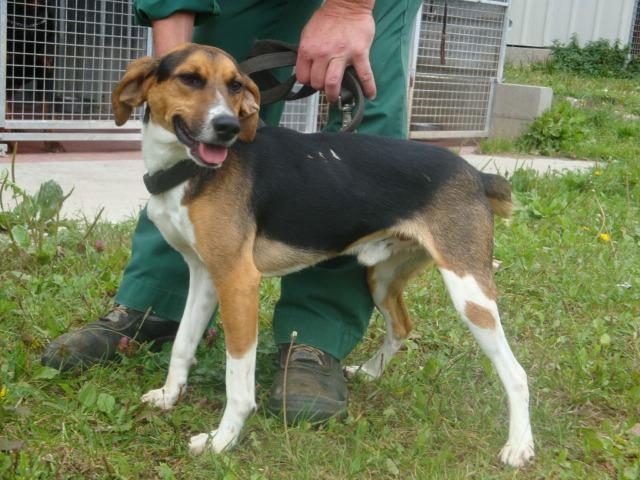 COYOTTE, croisé beagle mâle, 3 ans (54) Coyott10