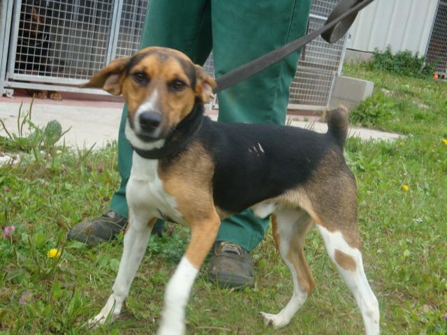 COYOTTE, croisé beagle mâle, 3 ans (54) Coyott11