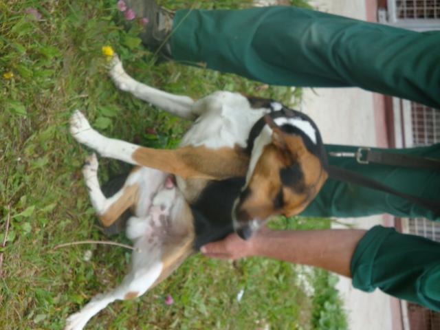 COYOTTE, croisé beagle mâle, 3 ans (54) Coyott12