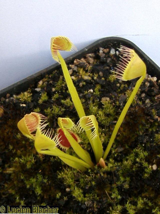 Dionaea Muscipula 'kinchyaku' Kinchy11