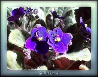 Violette du Cap Shatzi10