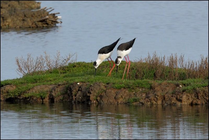 Réserve ornitho du Teich (le 13 avril 2013) Img_5211