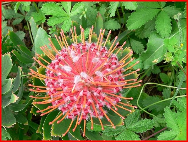 Protea lepidocarpodendron A_3211