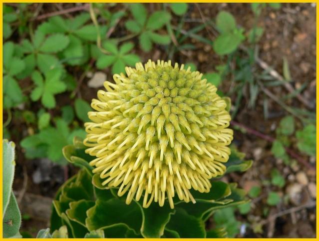 Protea lepidocarpodendron A_3311