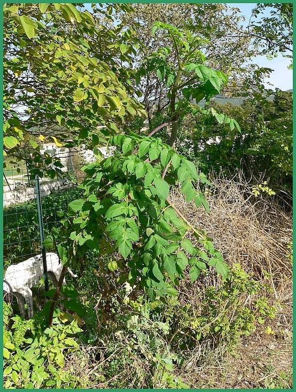 Dahlia imperialis - Page 2 P1150652