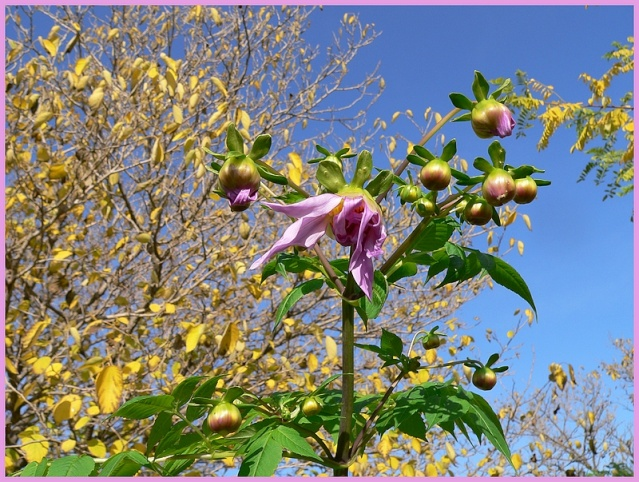 Dahlia imperialis - Page 2 P1170049