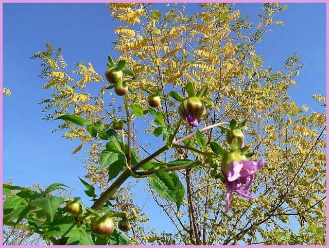 Dahlia imperialis - Page 2 P1170050