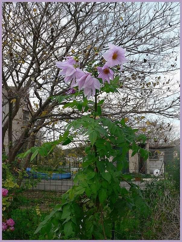 Dahlia imperialis - Page 3 P1170142