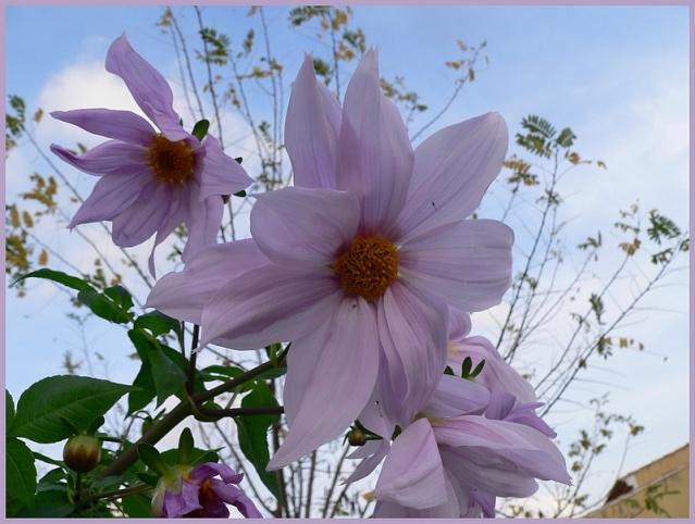 Dahlia imperialis - Page 3 P1170144