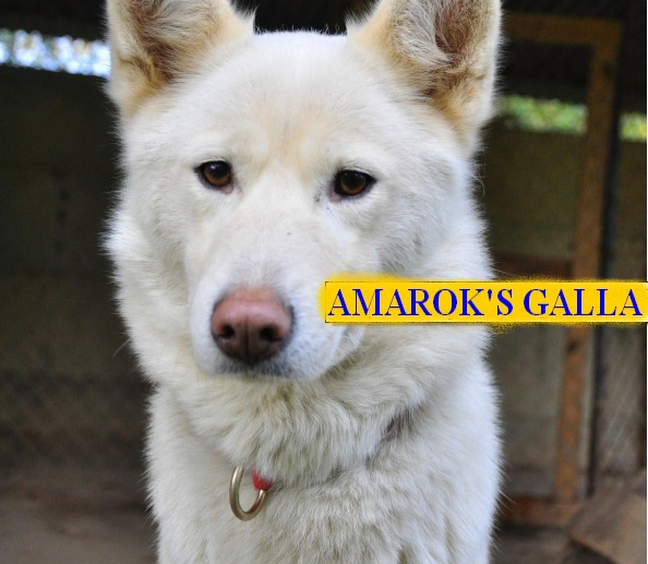 10 CHIENS A ADOPTER DURGENCE : TOUS ADOPTES - Page 2 Amarok10