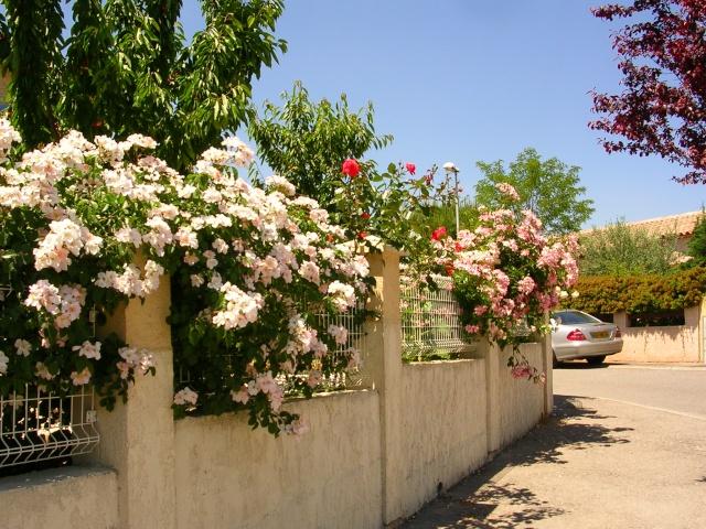 tous ces rosiers que l'on aime - floraisons Dscn1411