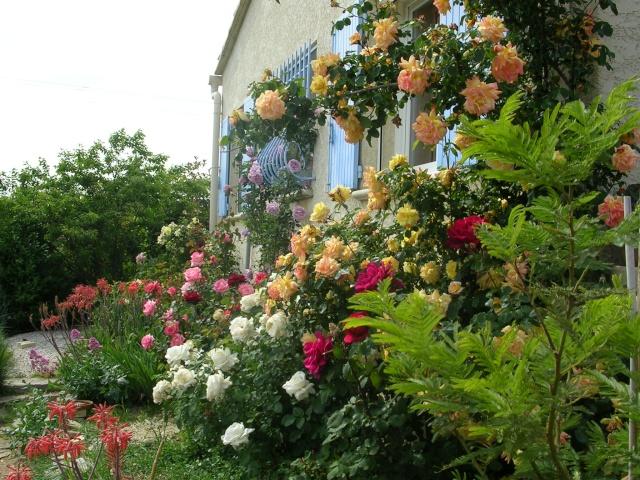 tous ces rosiers que l'on aime - floraisons Dscn2910