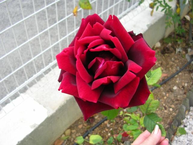 tous ces rosiers que l'on aime - floraisons Dscn3810