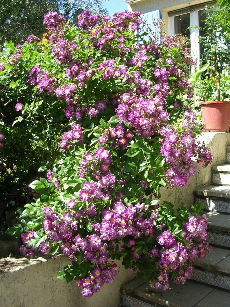 tous ces rosiers que l'on aime - floraisons Dscn4617