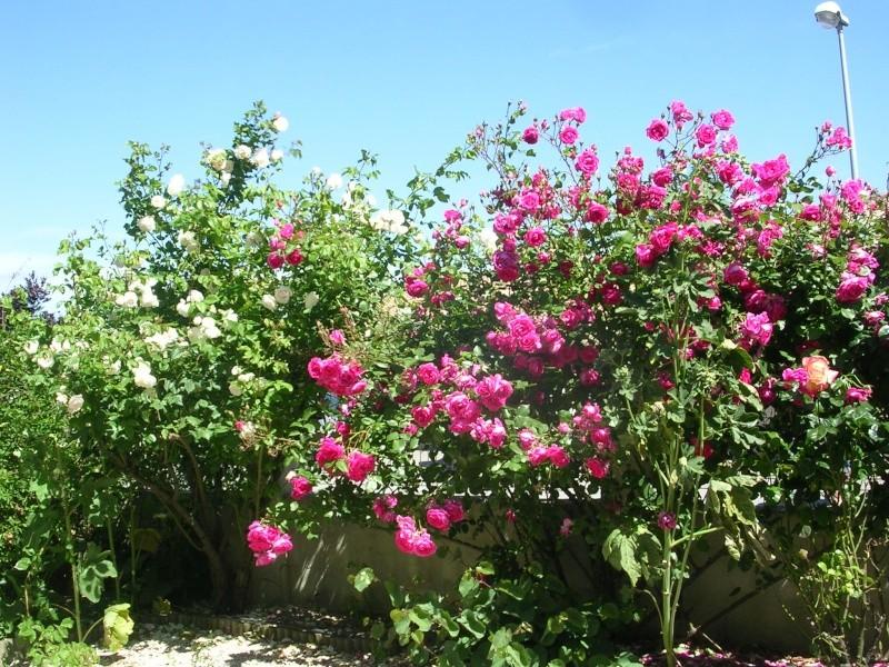 tous ces rosiers que l'on aime - floraisons Dscn4618