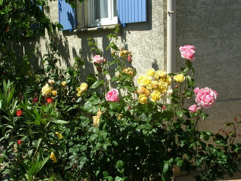 tous ces rosiers que l'on aime - floraisons Dscn4619