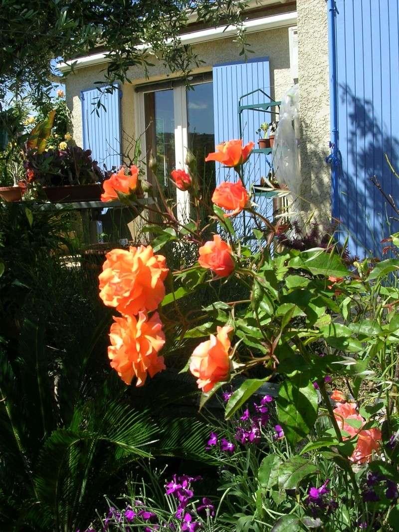 tous ces rosiers que l'on aime - floraisons Dscn4620