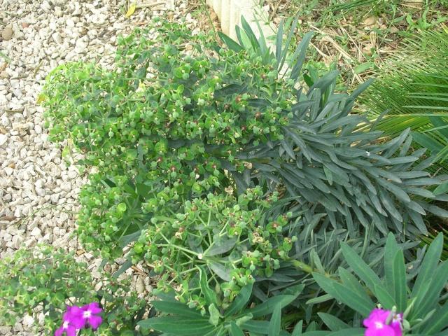 Euphorbia characias Dscn4621