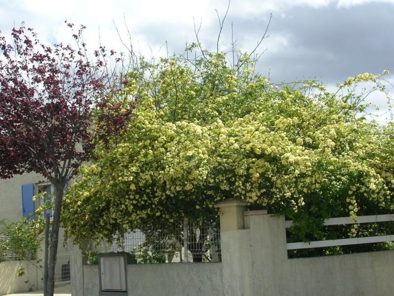tous ces rosiers que l'on aime - floraisons Dscn5011