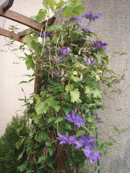 Les fleurs du printemps 2013 Clamat12