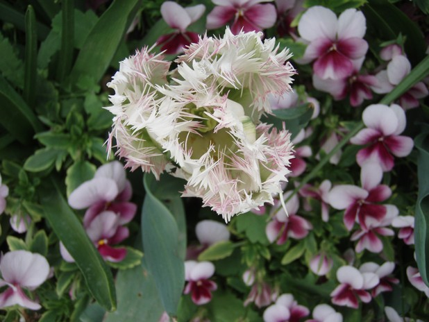 Giverny le 10 mai 2013 Tulipe11