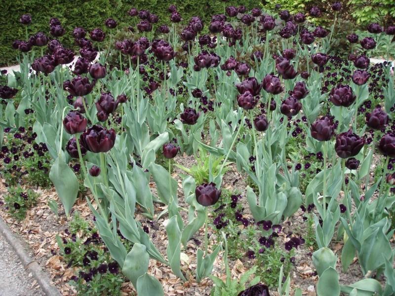 Giverny le 10 mai 2013 Tulipe12