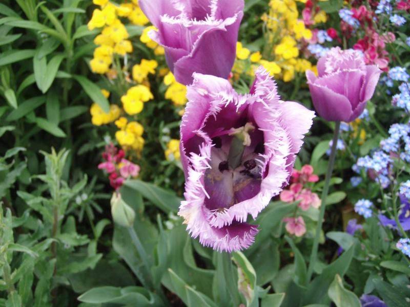 Giverny le 10 mai 2013 Tulipm10
