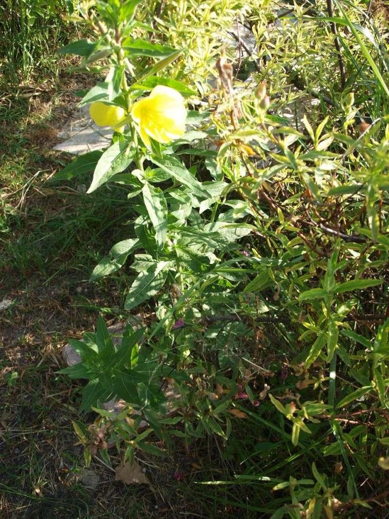 plante mystère Roses_61