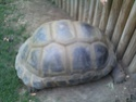 Quelques photos des tortues du zoo de la palmyre. Photo011