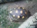 Quelques photos des tortues du zoo de la palmyre. Photo014