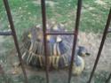 Quelques photos des tortues du zoo de la palmyre. Photo015