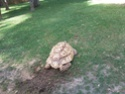 Quelques photos des tortues du zoo de la palmyre. Photo016