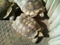 Quelques photos des tortues du zoo de la palmyre. Photo018