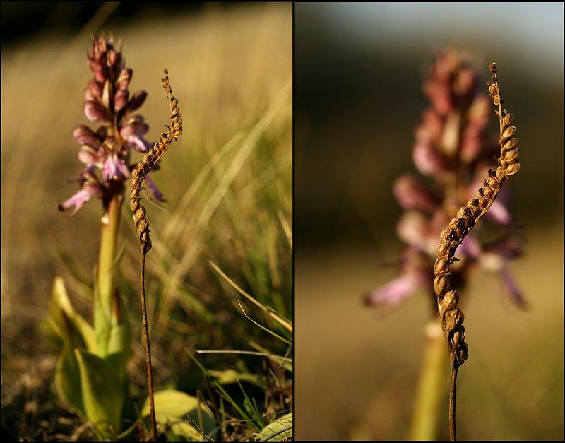 Himantoglossum robertianum (Barlia, Orchis géant ) Spiran10